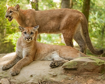Nashville Zoo Cougars