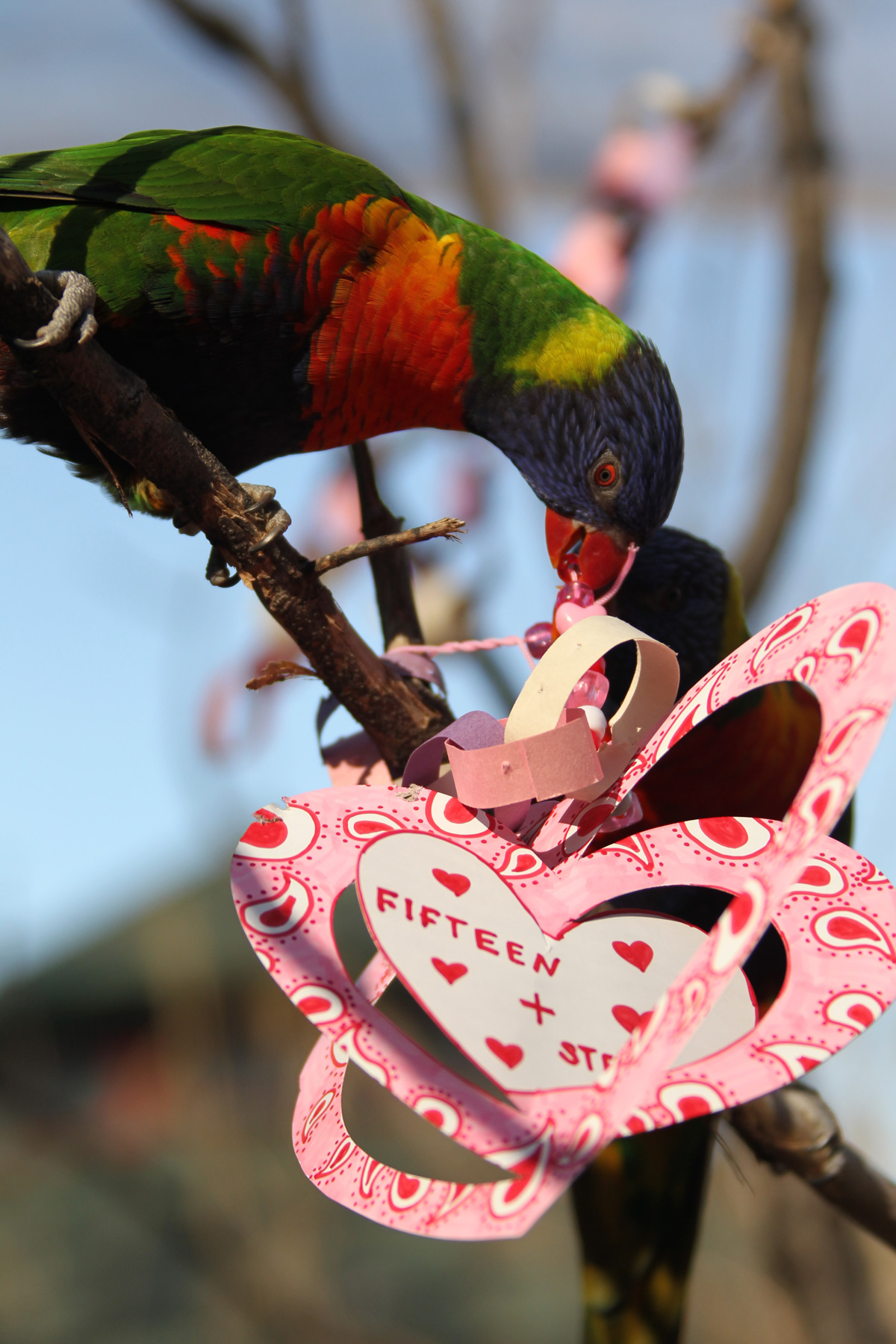 nashville zoo animals are celebrating valentines day with special enrichment items on tuesday feb 14 the zoo uses daily enrichment to promote natural